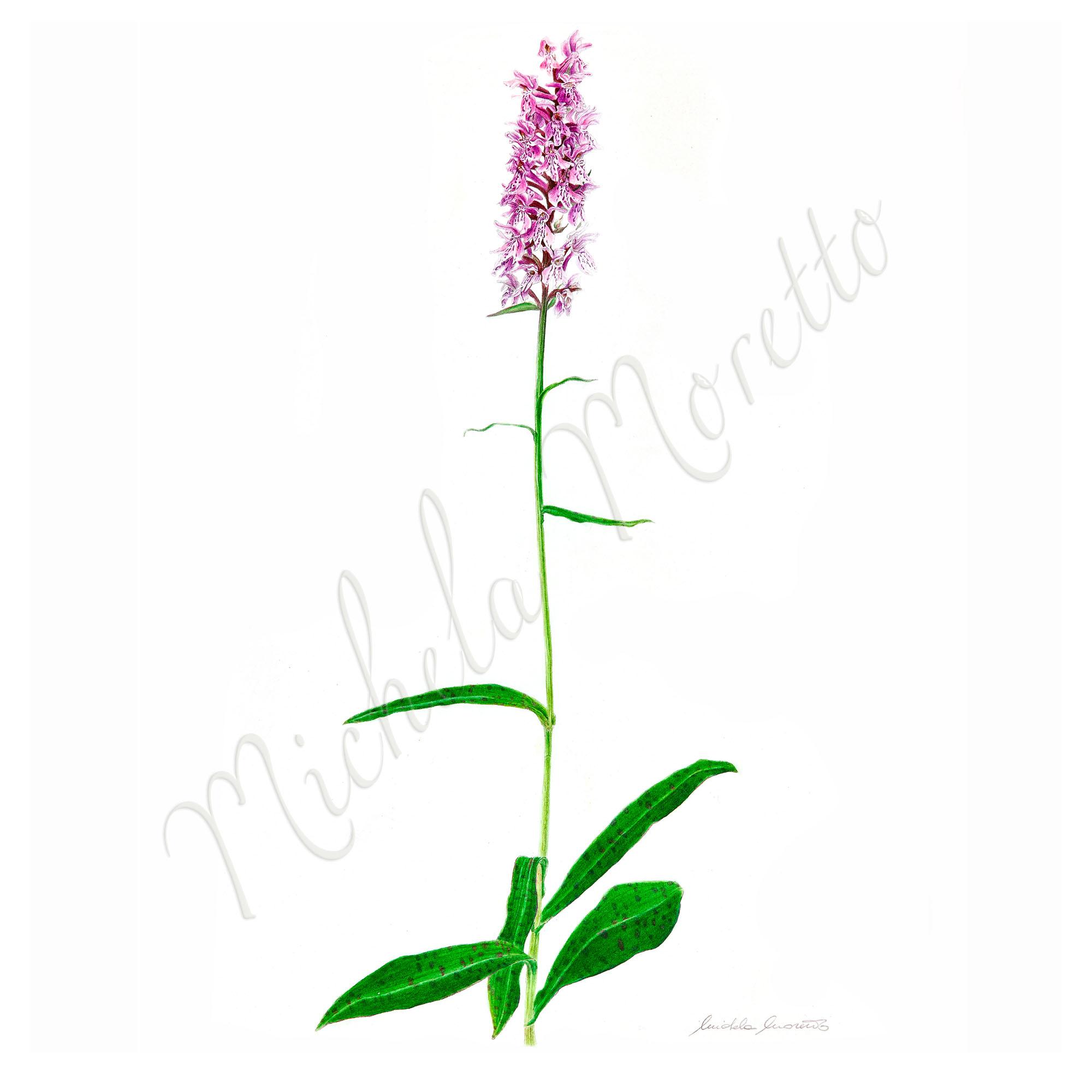 _dactyloriza-maculata