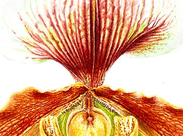 dettaglio-pittrice-botanica