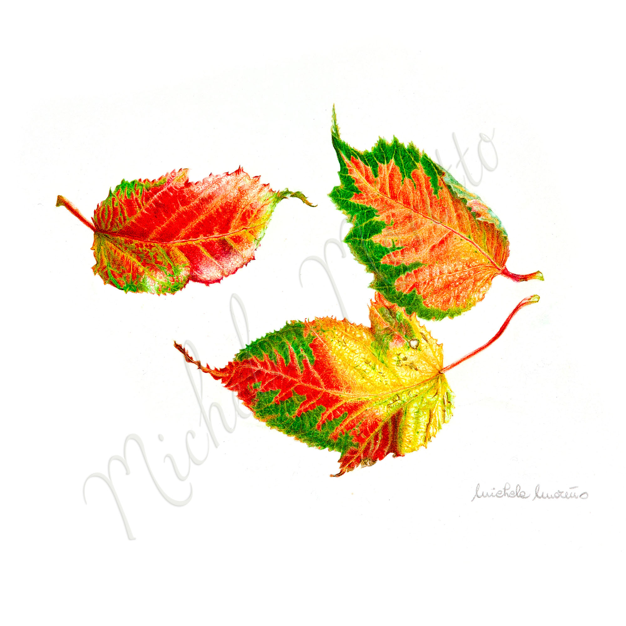 _foglie-di-acero