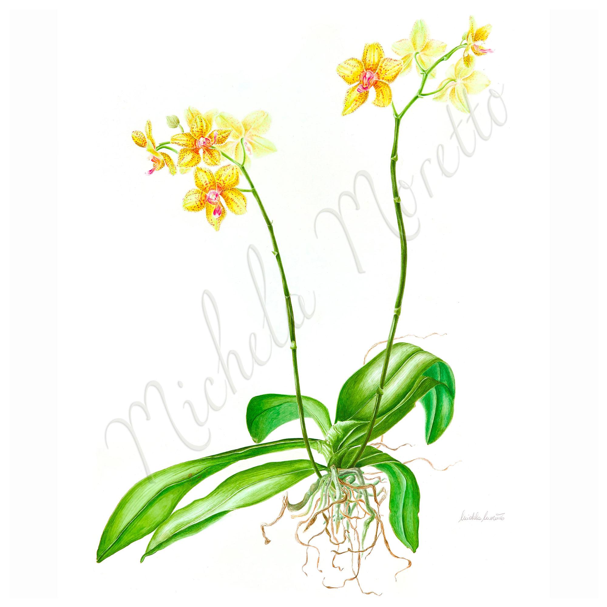 _phalaennopsis